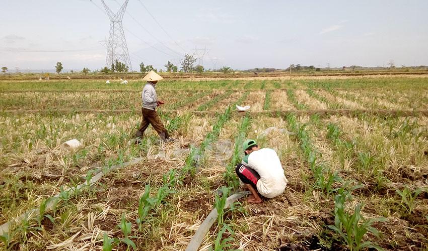 Petani: Pemerintah Harus Stabilkan Harga Jagung!