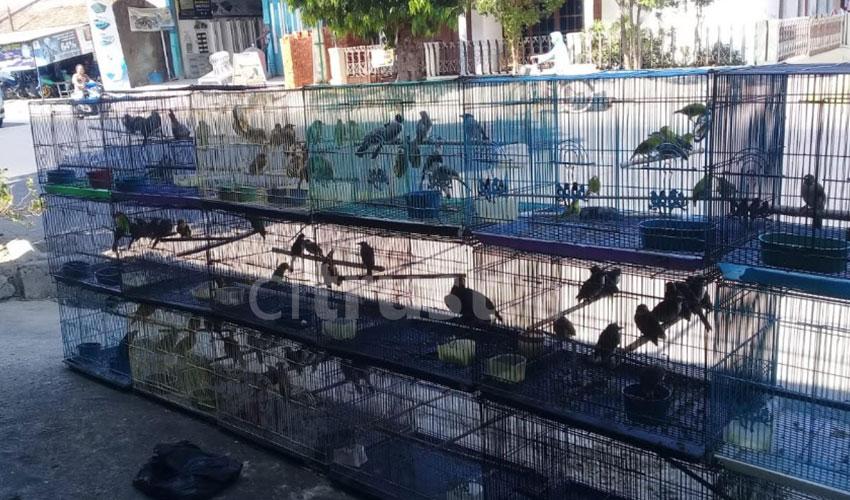 Usaha Burung Kontes, Menyalurkan Hobi Sekaligus Peluang Bisnis