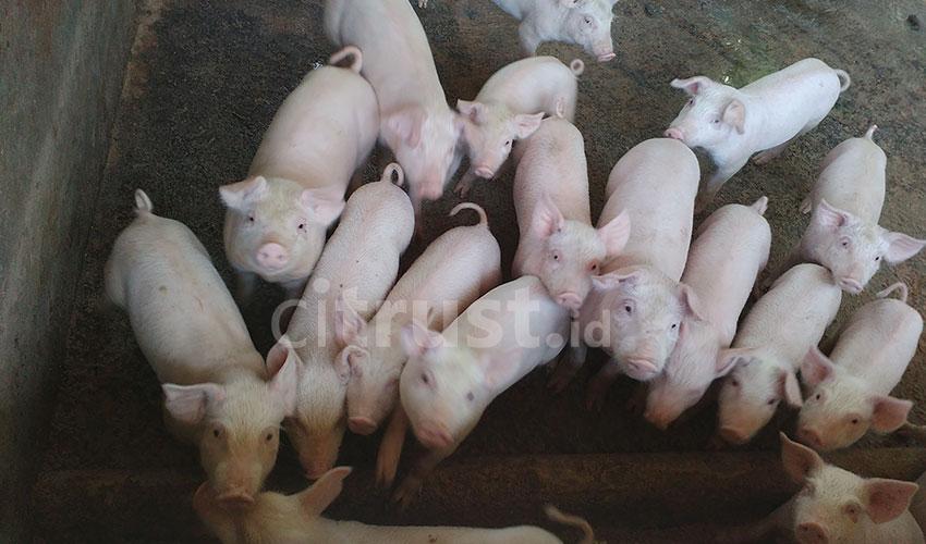 Ternak Babi Jadi Sumber Mata Pencaharian Asmadi