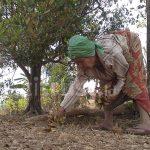 Usahan Minyak Cengkih, Budidayakan Lansia dan Masyarakat Kecil